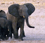 ElephantsD.