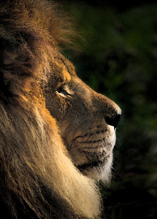 LionProfile.