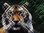 TigerD.