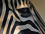 ZebraD.